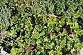 Pelargonium capitatum 3zz.jpg