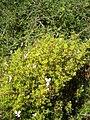 Pelargonium fruticosum KirstenboschBotGard09292010C.JPG