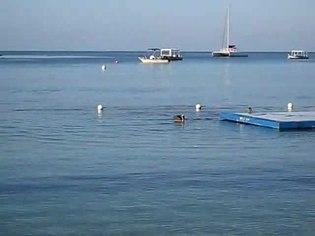 File:Pelecanus occidentalis -Jamaica -fishing-8.ogv
