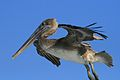 Pelecanus occidentalis and fishing hook 2.jpg