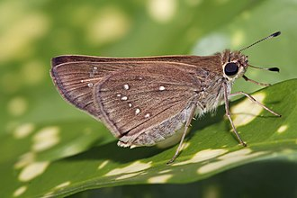 Grass skippers - Pelopidas sp.