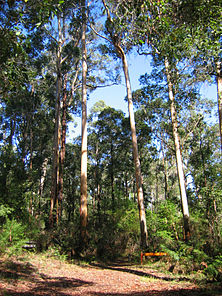 Bibbulmun Track through Karri forest near Pemberton, Western Australia.