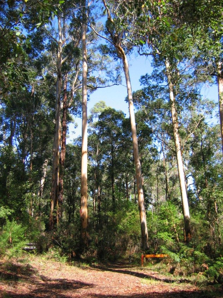 Bibbulmun Track through Karri forest near Pemberton, Western Australia.
