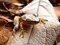Perereca (Hypsiboas albopunctatus).jpg