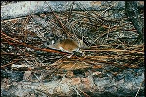 Cotton mouse - Image: Peromyscus gossypinus