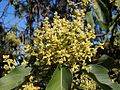 Persea americana flowers 2.JPG