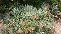 Pertusato Végétation - panoramio.jpg