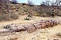 Petrified tree trunk and Welwitschia (Namibia).jpg