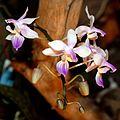 Phalaenopsis lindenii Orchi 2012-09-14 026.jpg