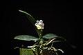 Phalaenopsis lobbii (Rchb.f.) H.R.Sweet, Gen. Phalaenopsis 53 (1980) (26784546308).jpg