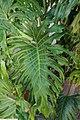 Philodendron bipinnatifidum 6zz.jpg