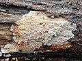 Phlebia radiata 110399134.jpg