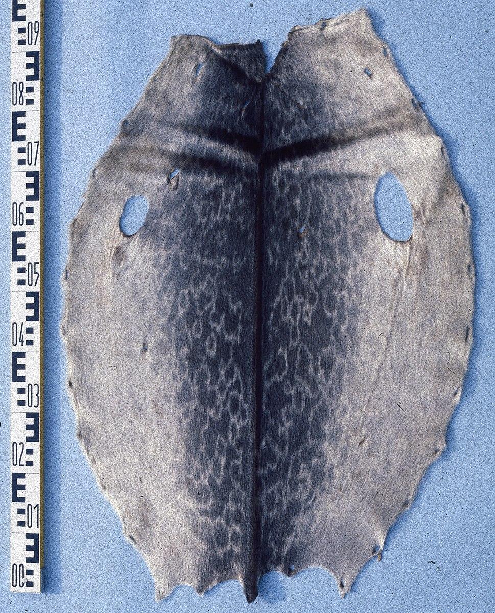 Phoca (pusa) hispida (Ringed seal) fur skin