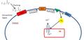 Phosphoinositide Pathway Diagram.png