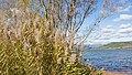 Phragmites australis, Salagou Lake, Liausson 01.jpg