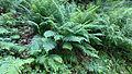 Pięknie rozsąnce rośliny paprotnikowe.jpg