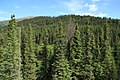 Picea mariana stand GJ.jpg