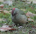 Picus viridis sharpei 019.jpg
