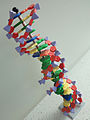 Piece of the world's longest DNA model.jpg