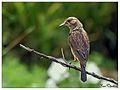 Pied bush chat (Saxicola caprata)Female.jpg