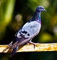 Pigeon (6755082877).jpg