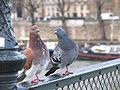 Pigeons-parisiens.jpg
