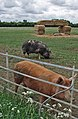 Pigs of Dorsington - geograph.org.uk - 455884.jpg