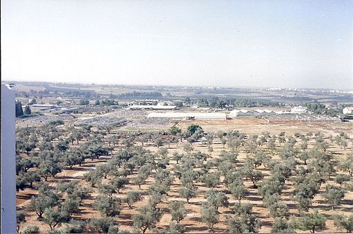 PikiWiki Israel 10946 Olives trees in Ramle