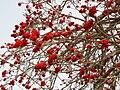 PikiWiki Israel 316 Erythrina corallodendrum אלמוגן בשיא תפרחתו.jpg