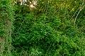 Pimpernussbaum 2240.jpg