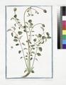 Pimpinella Sanguisorba major hirsuta - Pimprenelle (NYPL b14444147-1125101).tiff