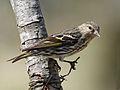 Pine Siskin RWD3.jpg
