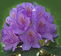 Pink Rhododendron (5633374831).jpg