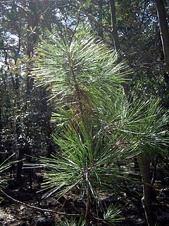 <i>Pinus arizonica</i> species of plant