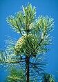 Pinus attenuata BLM3.jpg