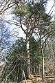 Pinus densiflora on Mount Tokura s2.jpg
