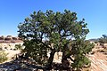 Pinus edulis kz26.jpg