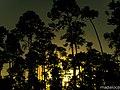 Pinus hondurensis - panoramio.jpg