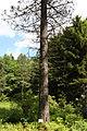 Pinus jeffreyi Rogów trunk.JPG