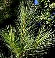 Pinus strobus needles3.jpg