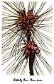 Pinus taeda, by Mary Vaux Walcott.jpg