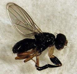 Piophila_australis