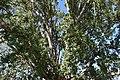 Pioppo canescente (Berra) 4.jpg