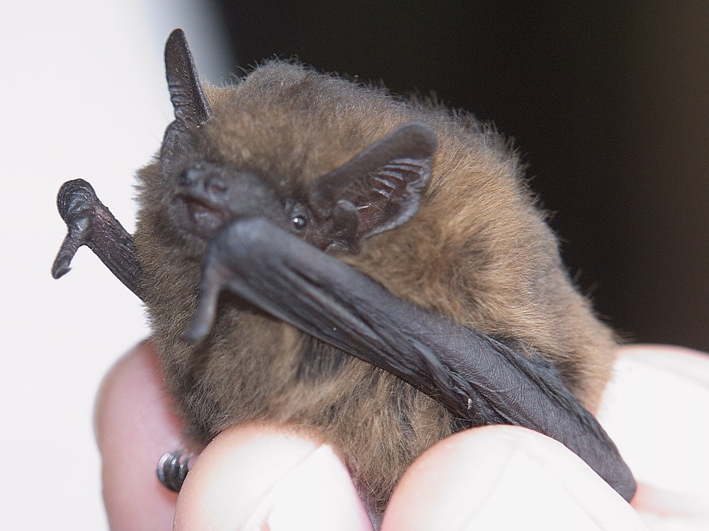 The average litter size of a Common pipistrelle is 1