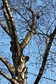 Piptoporus betulinus 5348.JPG