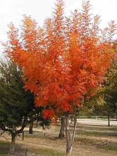 Pistacia chinensis with autumn colour