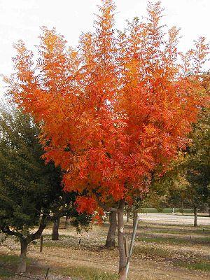 Pistacia chinensis - Pistacia chinensis with autumn colour