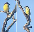 Pitangus sulphuratus - Flickr - Dick Culbert.jpg