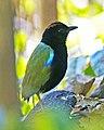 Pitta iris 1.jpg