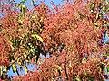 Plant Terminalia myriocarpa DSCN1358 02.jpg